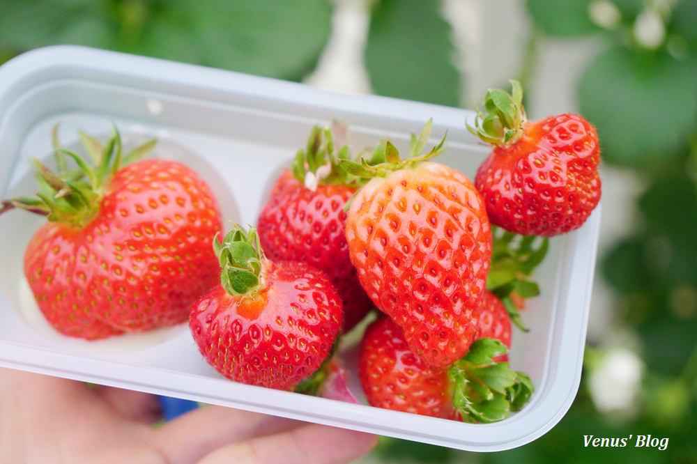 【岩手縣】Salad Farmいちごの森-夢幻的日本草莓吃到飽,現摘現吃我吃了35顆賺很大