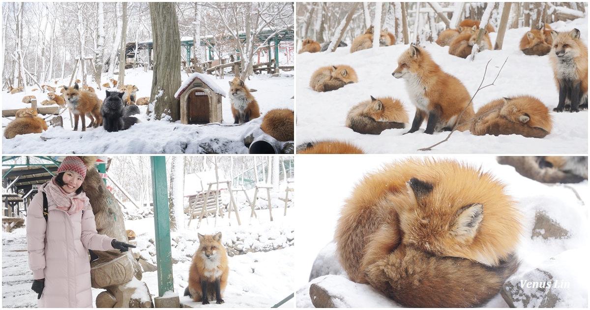 宮城縣|藏王狐狸村,130隻狐狸x白雪地毯,療癒到爆表,不可思議的景點