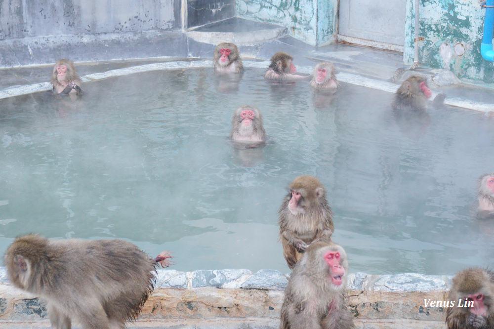 函館|函館市熱帶植物園,冬天限定的猴子泡溫泉!