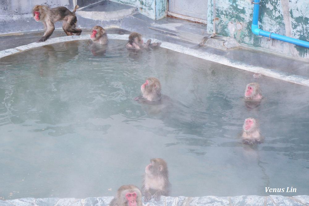 函館市熱帶植物園,函館猴子泡溫泉,猴子泡溫泉,北海道猴子泡溫泉