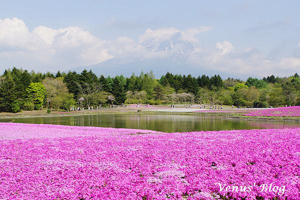 【東京自助】富士芝櫻祭、超難忘的夢幻粉紅地毯、東京ORIX租車近郊一日遊