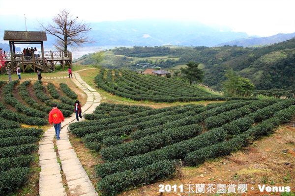 【宜蘭】2011玉蘭茶園賞櫻趣